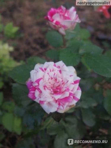 Роза Флашинг (Флешинг)  фото