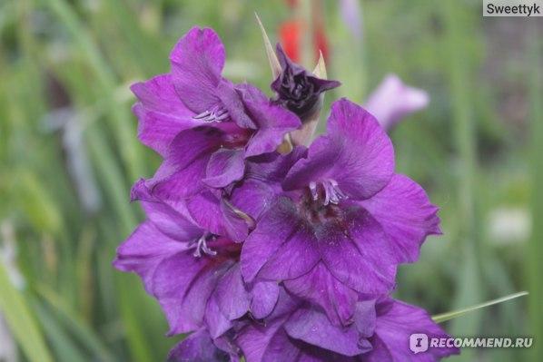 Гладиолус Purple Flora (Перпл Флора)