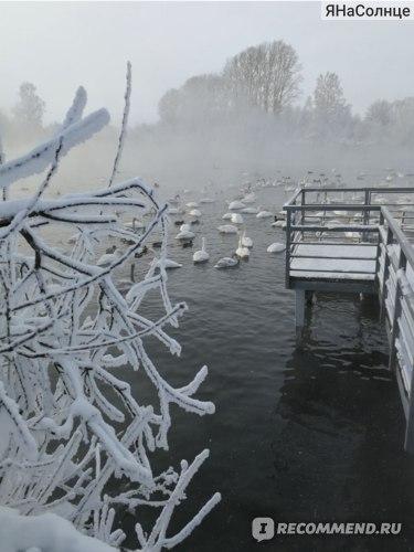 Лебединый заказник на озере Светлое Советский район АК