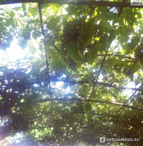 Виноградная лоза во дворе