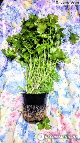 Зелень Петрушка фото