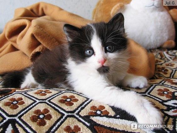 ушной клещ у котенка