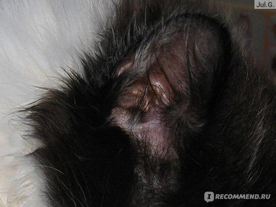 ушной клещ у котенка фото