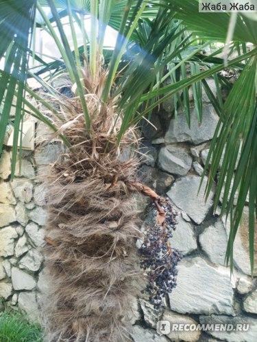 пальма веерная, Ялта