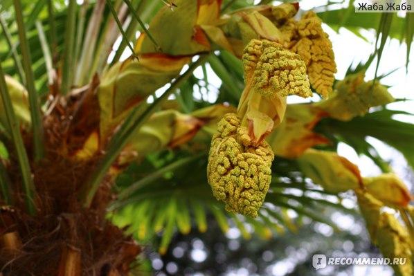 веерная пальма в Крыму