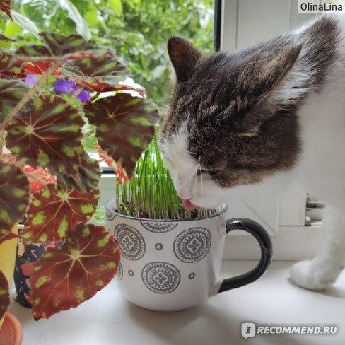 трава для кошки отзывы