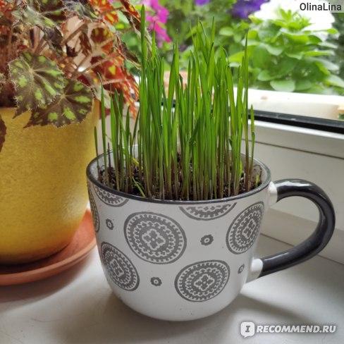 как вырастить траву для кошки отзыв