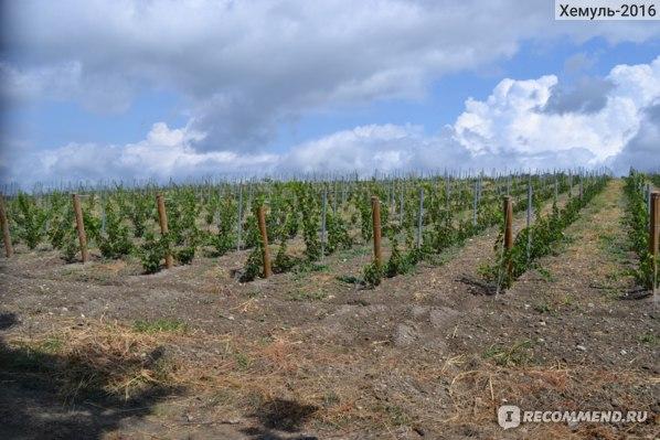Виноградники около Геленджика