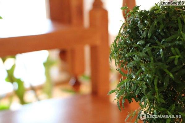 Дерево Мирт фото