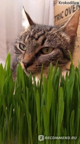 Травка для кошек TiTBiT фото