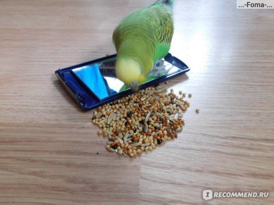 Rio budgies для волнистых попугаев фото