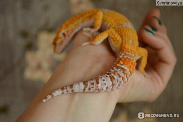 Эублефар Hypo Tangerine Tremper Albino