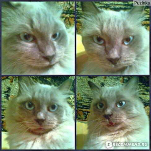 балинезийская порода кошек