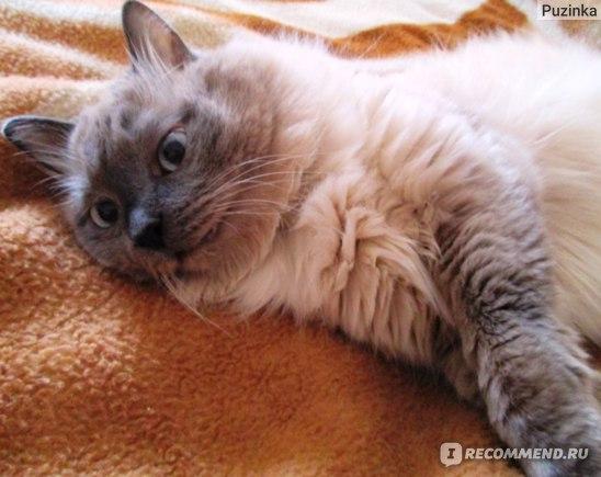 балинезийская кошка фото