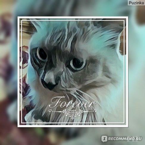 родственник сиамских кошек