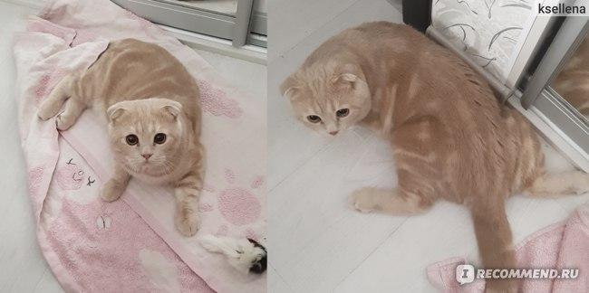 шотландский вислоухий кот кастрация