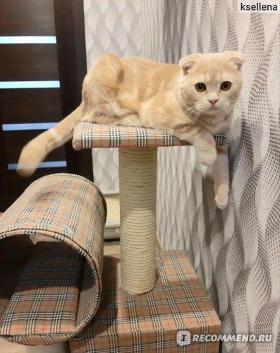 Шотландская вислоухая кошка характер