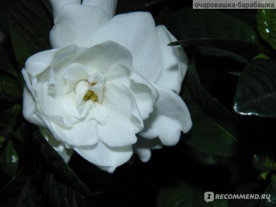 Гардения жасминовая фото
