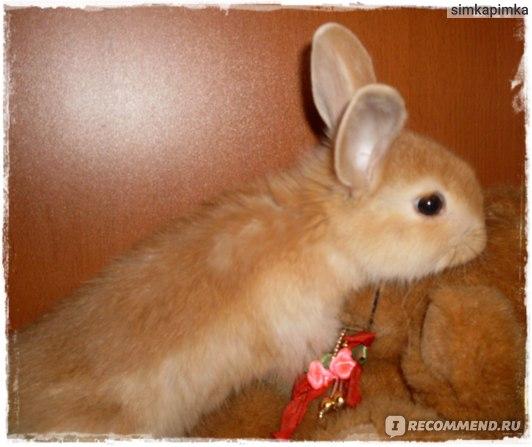Декоративный Кролик фото