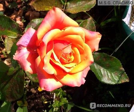 Роза сорта Черри Бренди (Cherry Brandy) фото