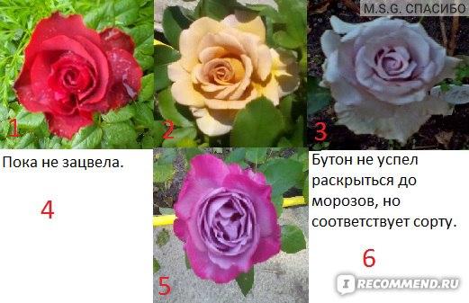 Сайт Shtepa-roses.tiu.ru фото