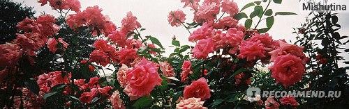Под розой. Мария Эрнестам  фото